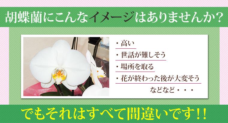 胡蝶蘭にこんなイメージはありませんか?